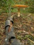 Toxic mushroom
